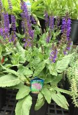 Salvia nem. May Night Sage - Meadow, May Night, #1