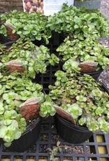 Sedum spur. Fuldaglut Stonecrop - Two Row, Fuldaglut, #1