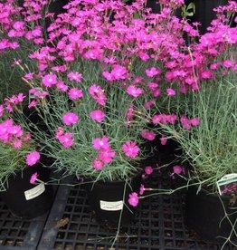 Dianthus grat. Firewitch Cheddar Pinks, Firewitch, #1