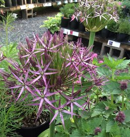 Allium cristophi, Ornamental Onion #1