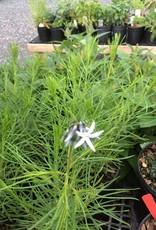 Amsonia hubrichtii Blue Star, Narrow Leaf Blue Star #1
