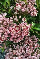 Kalmia latifolia Minuet Mountain Laurel, Minuet, 3