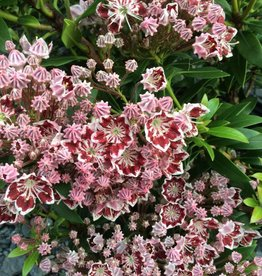 Kalmia latifolia Minuet Mountain Laurel, Minuet, 3