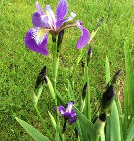 Iris versicolor Iris, Blue Flag, #1