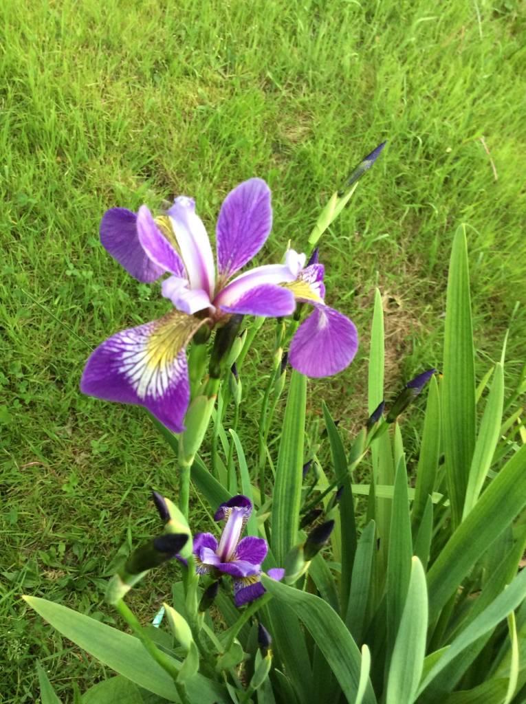 Iris versicolor Iris, Blue Flag, #3