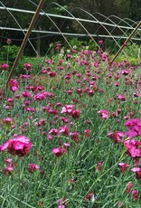 Dianthus carthusianorum Pink, Carthusian, #1