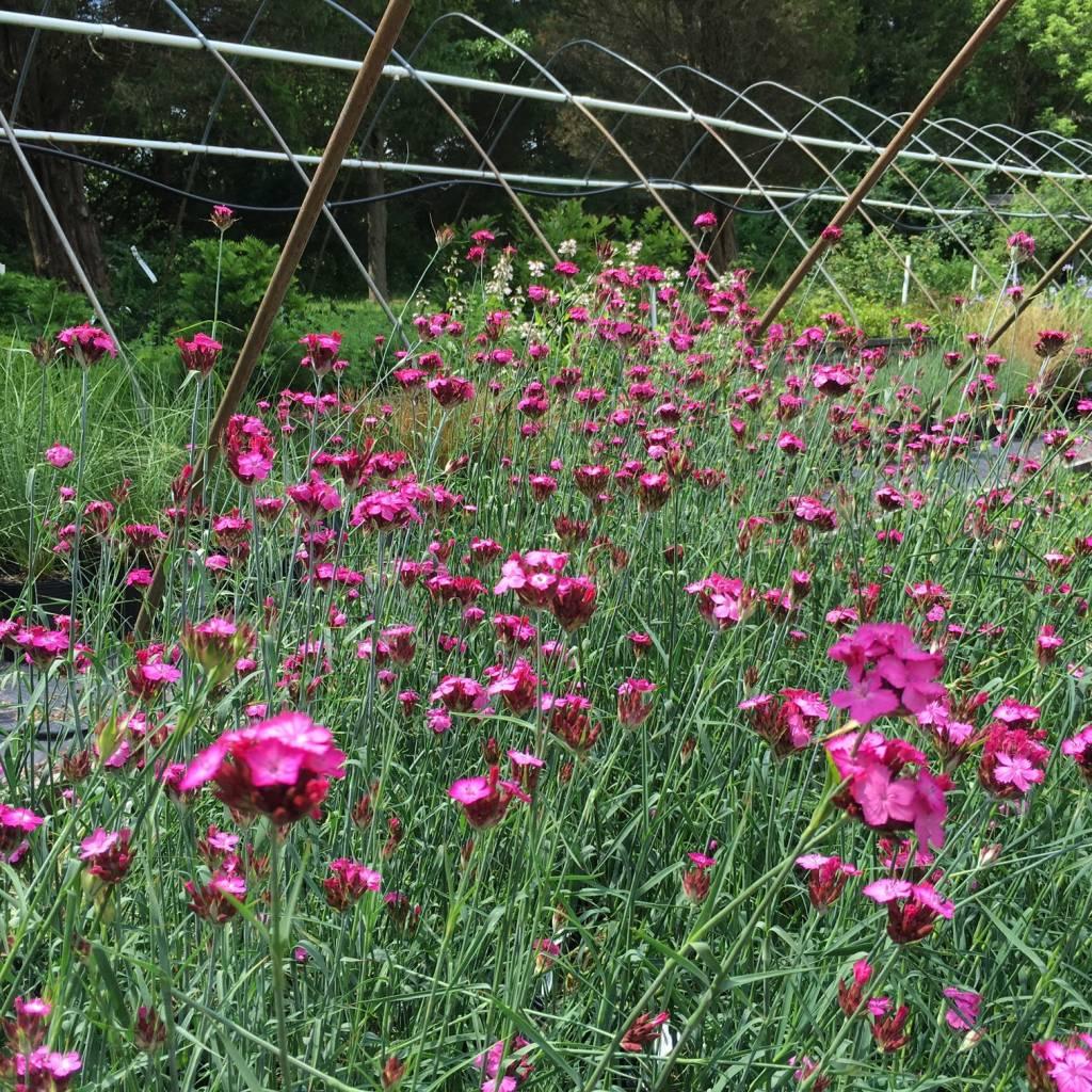 "Dianthus carthusianorum Pink, Carthusian, 4.5"" terra"