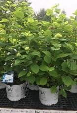 Hydrangea arborescens White Dome, Smooth Hydrangea #3