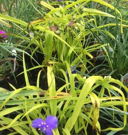 Tradescantia Sweet Kate Spiderwort, Sweet Kate, #1