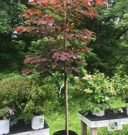 Cercis can. Forest Pansy Redbud - Eastern, Forest Pansy, 6-8
