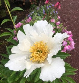Paeonia sp. Peony, multiple varieties, #2
