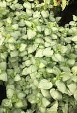 Lamium mac. White Nancy Dead Nettle, White Nancy, #1
