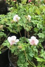 Geranium can. Biokovo Geranium - Hardy, Biokovo, #1