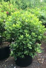 Rhododendron x PJM Rhododendron, PJM, #5