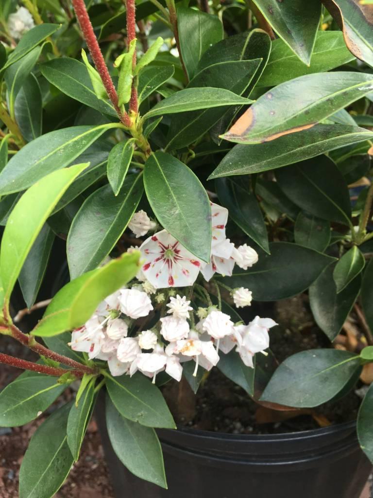 Kalmia latifolia Peppermint Mountain Laurel, Peppermint, #3