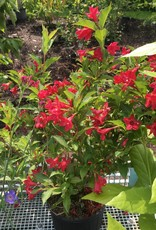Weigela florida Red Prince Weigela, Red Prince, #3
