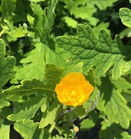 Stylophornum diphyllum Wood Poppy, #1