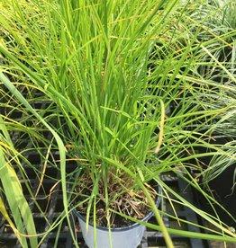 Seslaria autumnalis Grass - Autumn Moor,