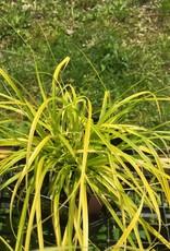 Carex osh. Everillo Grass - Ornamental Evercolor Sedge, #1