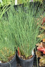 Juncus inflexus Blue Arrows Rush, Blue Arrows, #1