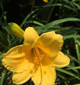 Hemerocallis Stella D'Oro Daylily, Stella D'Oro, #1