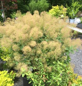 Cotinus coggygria Young Lady Smokebush, Young Lady, #7