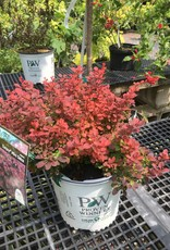 Berberis thun. Mimi Barberry, Sunjoy Mini Salsa, #3