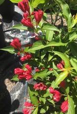 Weigela florida Sonic Red, Weigela, Sonic Bloom Red, #3