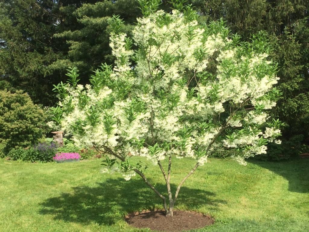 Chionanthus Fringetree, White Fringetree #7