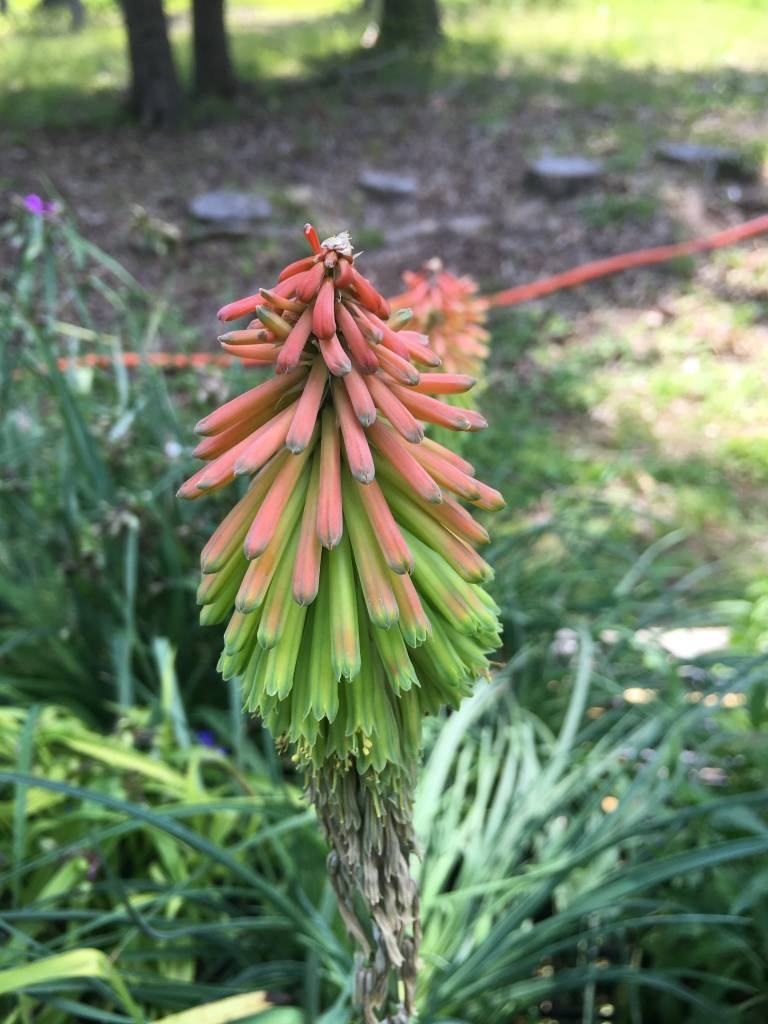 Kniphofia hirsuta Fire Dance Poker Plant, Fire Dance, #1