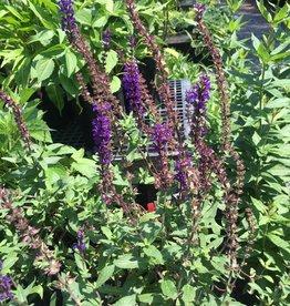 Salvia nem. Caradonna Sage - Meadow, Caradonna, #1