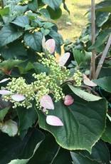 Schizophragma hydr. Minsens Hydrangea - Vine, Rose Sensation, #3