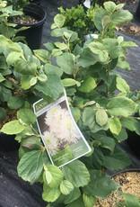 Native Shrub Fothergilla gardenii Fothergilla, Dwarf, #3