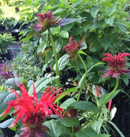 Monarda did. Jacob Cline Bee Balm, Jacob Cline, #1