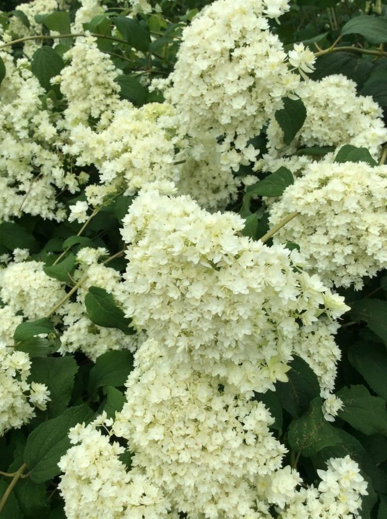 Hydrangea arbor. Radiata Hydrangea - Smooth, Hayes Starburst, #3