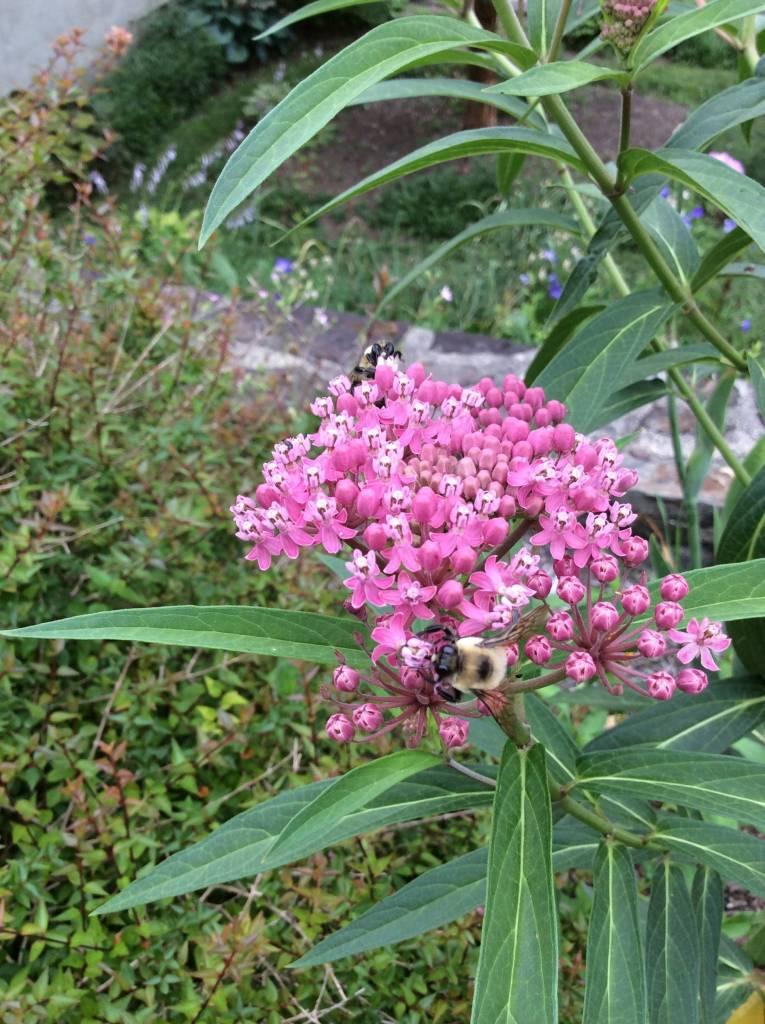 Asclepias incarnata Milkweed, Swamp, #1