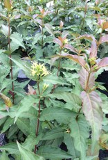Nativar Shrub Diervilla x Kodiak Red Honeysuckle Bush - Kodiak Red, #3