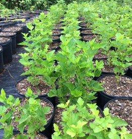 Physocarpus opul. Ninebark native #3