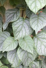 Schizophragma hydr. Moonlight Hydrangea - Vine, Moonlight, #3