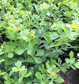 Rhus aromatica Gro-Low Fragrant Sumac, Gro-Low, #3