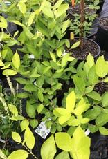 Calycanthus Venus Sweetshrub, Venus, #3