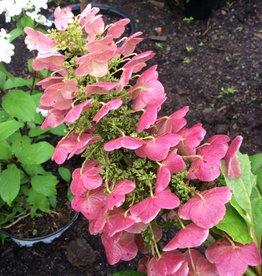 Hydrangea querc. Doughill Hydrangea - Oakleaf, Gatsby Star, #3