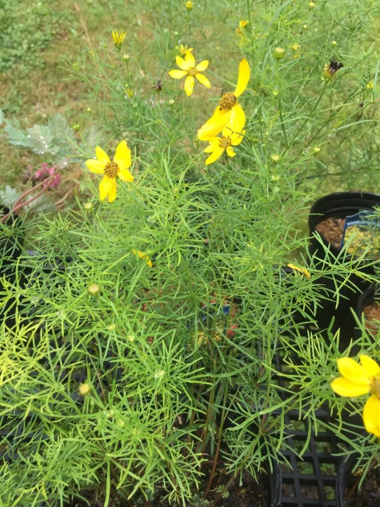 Coreopsis verticillata Tickseed, #1