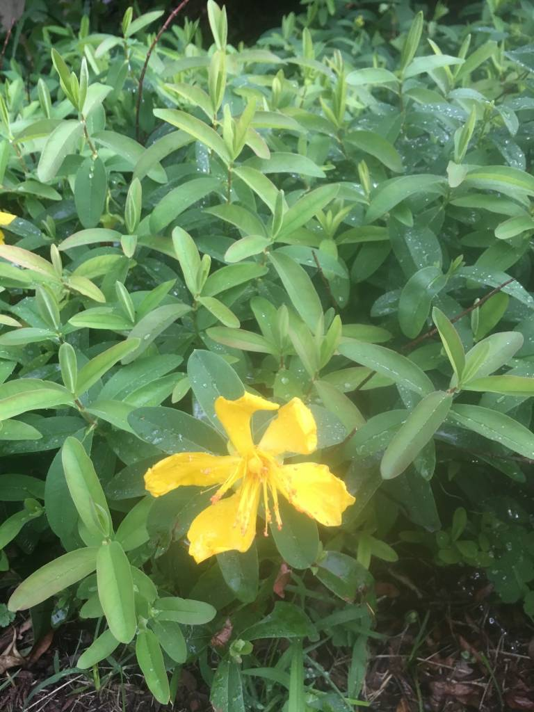 Hypericum calycinum St. John's Wort, #1