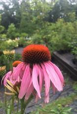 Echinacea pur. Magnus Coneflower, Magnus, #1