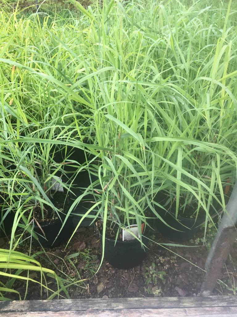 Panicum virgatum Heavy Metal Grass - Ornamental Switch, Heavy Metal, #1