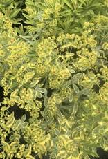 Euphorbia x Ascot Rainbow Euphorbia, Ascot Rainbow, #1