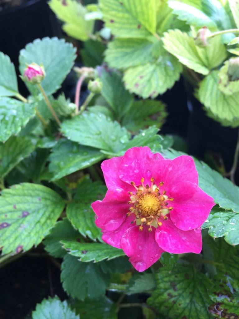 Fragaria x Lipstick Ornamental Strawberry, Lipstick, #1