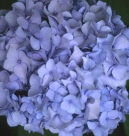 Hydrangea mac. All SummerBeauty Hydrangea - Mophead, All Summer Beauty, #3
