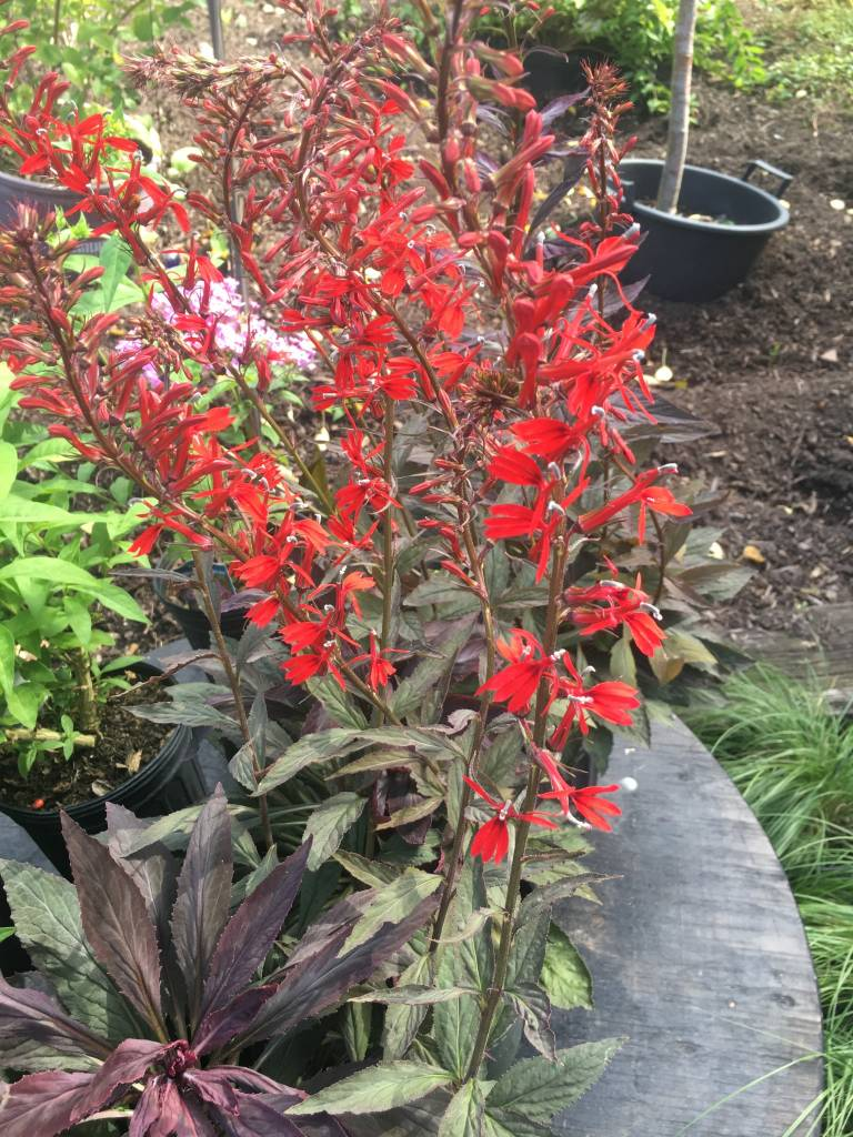 Lobelia New Moon Maroon Cardinal Flower, New Moon Maroon, #1